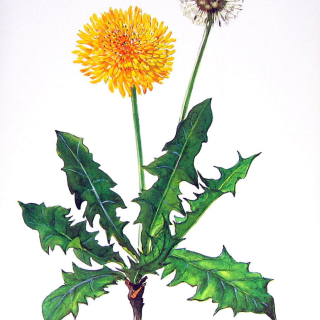 Dandelion Herbal Medicine